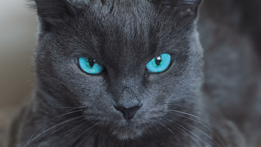 Graceful gray cat with beautiful blue eyes looking at the camera. Pets care and domestic cats care concept. Royalty-Free Stock Footage #1056148613