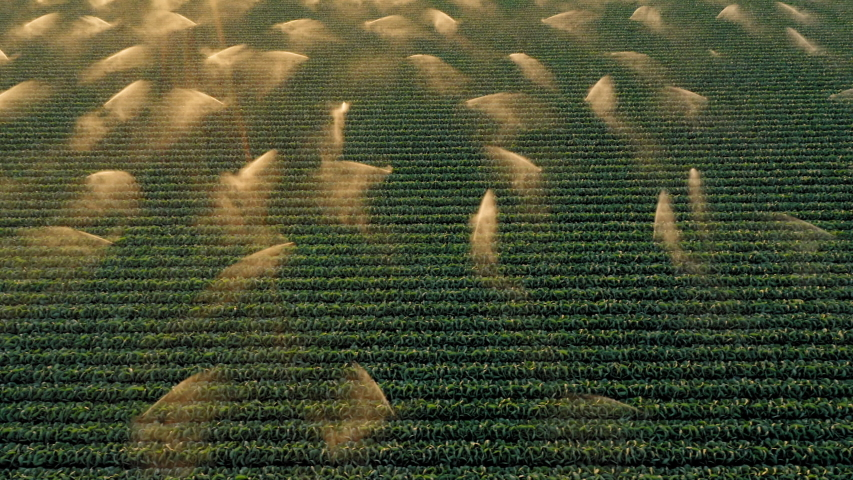Cinematic 4K aerial footage great for the commercial usage. Flying above the agriculture field. Green kale plants are sprayed by the automated irrigation system in beautiful gold sun light at sunset
