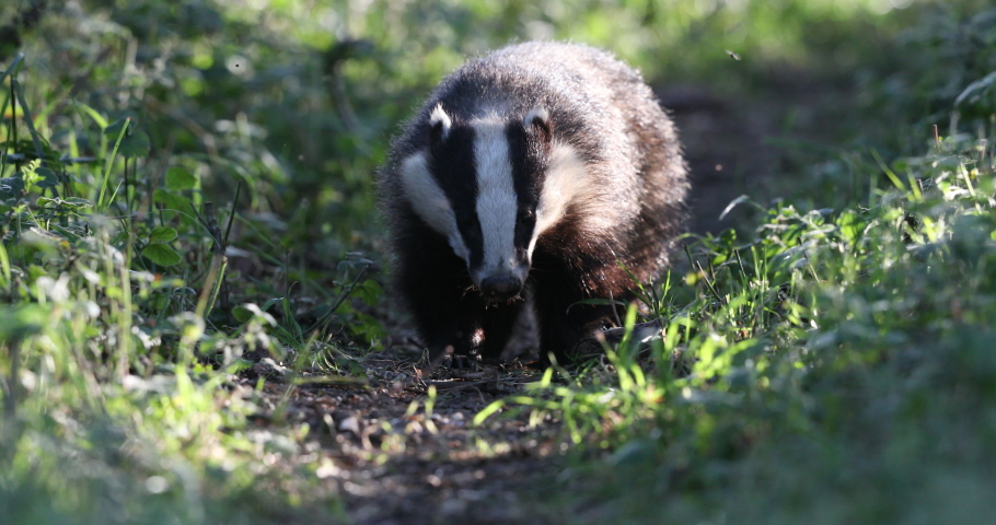 The European badger also known as the Eurasian badger, is a badger species in the family Mustelidae native to almost all of Europe and some parts of Western Asia.