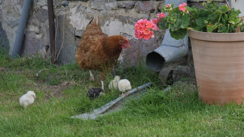 Little chickens and her mother walks around ranch. Video footage of chicken and her babies walking around barn during sunny day.