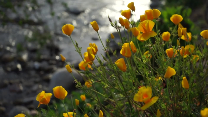 California poppies sway in the late afternoon breeze as the San Juan Creek flows past.