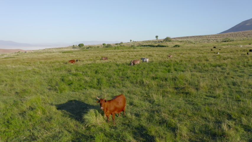 Cinematic California landscape with red cow on the foreground feeding on a green meadow with scenic skyline on background. 4K aerial of beautiful landscape with motion background. Wild nature travel
