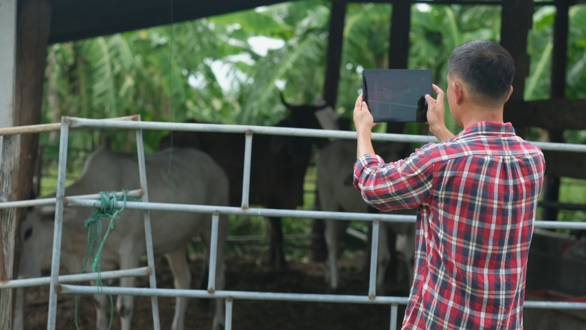 Farmer are using a tablet on background cow in cow stall.