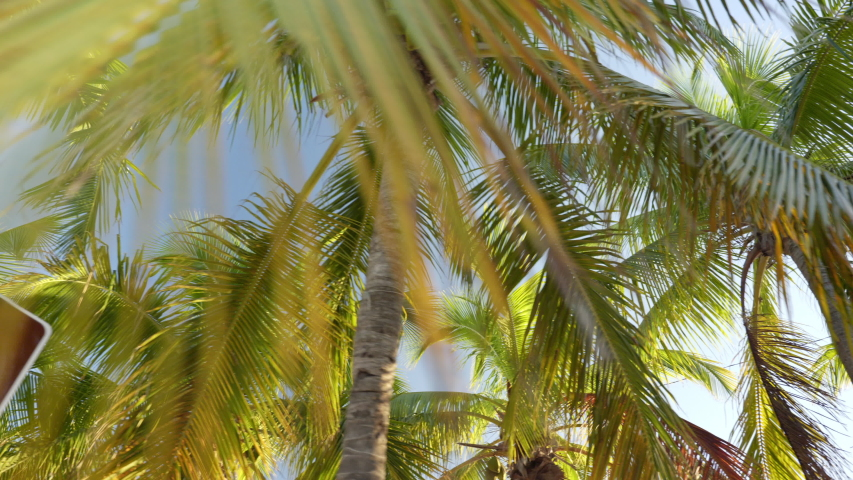 Palm trees in the tropical climate by the ocean in Key West Florida USA