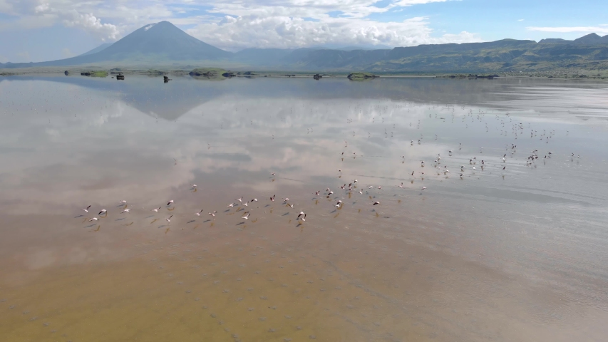 Pink Lesser Flamingos at Lake Natron with volcano on background in Rift valley, Tanzania