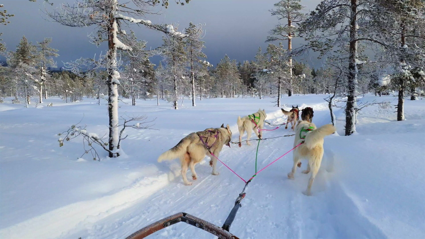 A team of sled dogs pulling a sled through the wonderful winter calm winter forest. Riding husky sledge in Lapland landscape