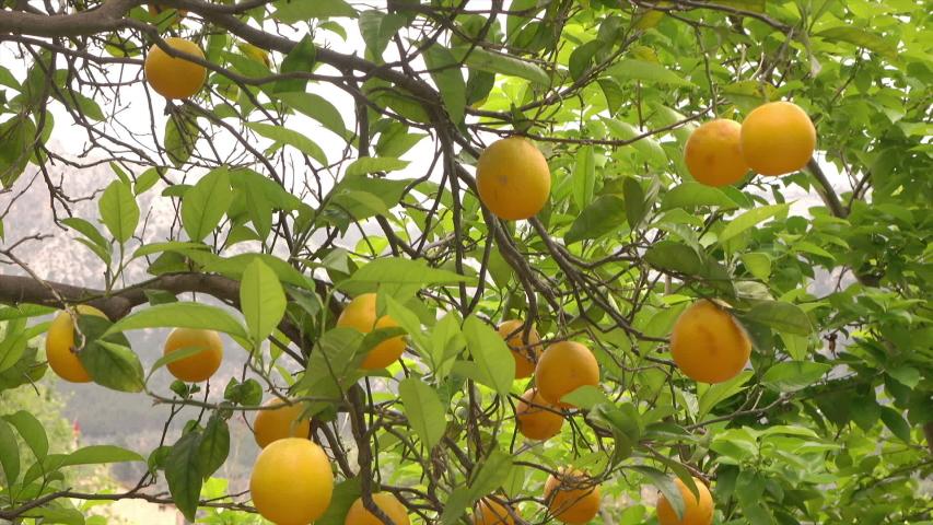 Orange tree with fruit, Spain | Shutterstock HD Video #1056325838