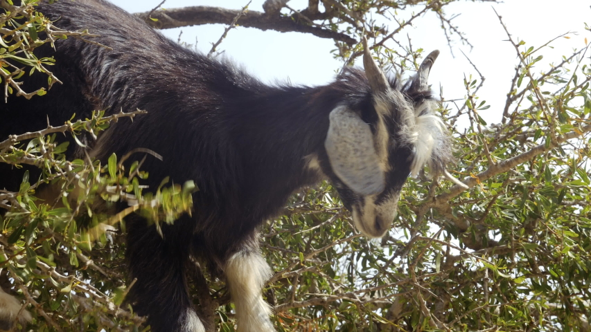 A young black goat eats leaves high up on an Argan tree, Essaouira, Morocco. The tree is cultivated for the famous Argan oil that is produced from the kernels of the nuts. Slow-motion footage.