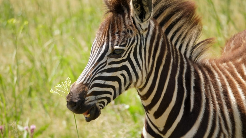 Slow motion: close up profile of baby Zebra eating grass, gets spooked and darts away from two Zebras fighting on sunny day