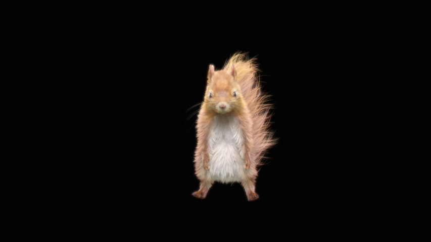 Squirrel Dance, gangnam style, CG fur, 3d rendering, animal realistic CGI VFX, composition 3d mapping, cartoon, Included in the end of the clip with Alpha matte.