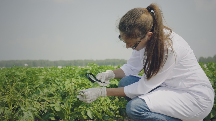 Female biologist inspecting Colorado potato beetle larvae in test tube using magnifier. Mid-adult scientist takes analyzes of pests in cultivated potato field | Shutterstock HD Video #1056362717