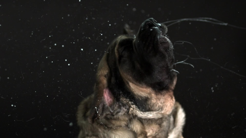 Headshot of a mastiff vigorously shaking its head with lots of drool flying off its mouth