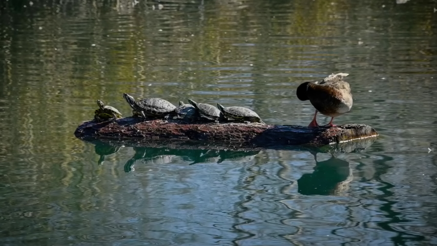 Duck on a log in a pond looks at five turtles facing away from it in slow motion 4k