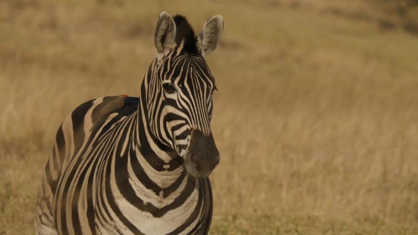 Plains Zebra Close Up in South Africa   Shutterstock HD Video #1056375356