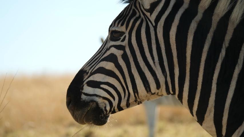 Plains Zebra Close Up in South Africa   Shutterstock HD Video #1056375389