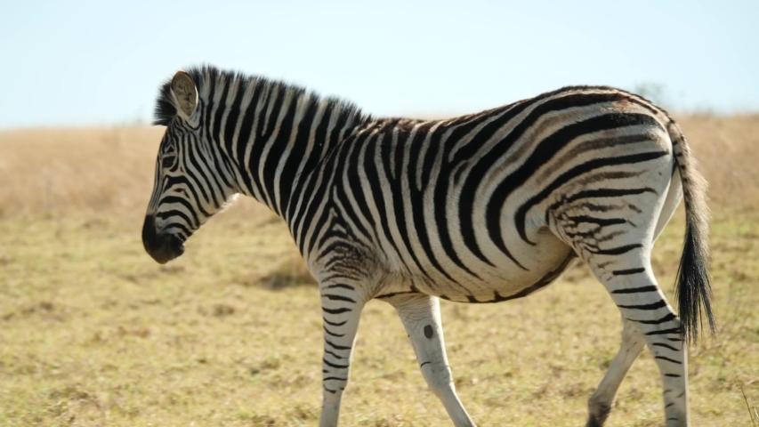 Zebra walking in natural habitat, South Africa   Shutterstock HD Video #1056375698