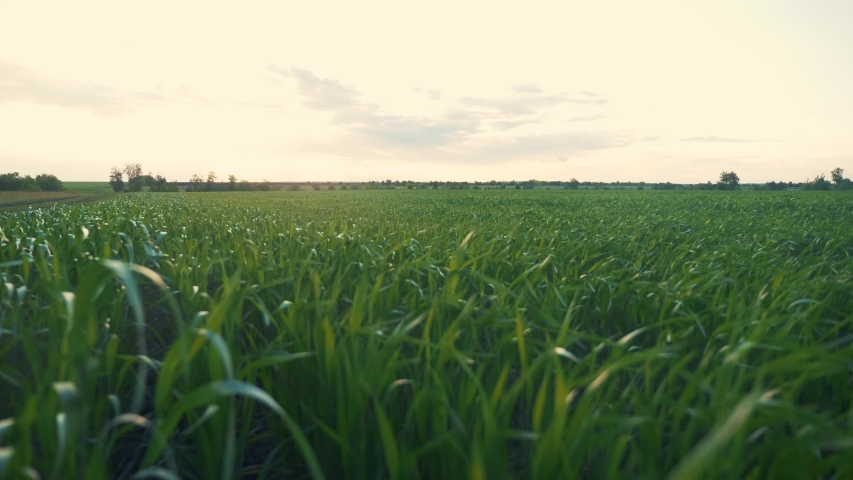agriculture farm. green field of early wheat at sunset sunset sunlight movement. green grass sways in the wind beautiful green wheat field agriculture farm concept Royalty-Free Stock Footage #1056415274