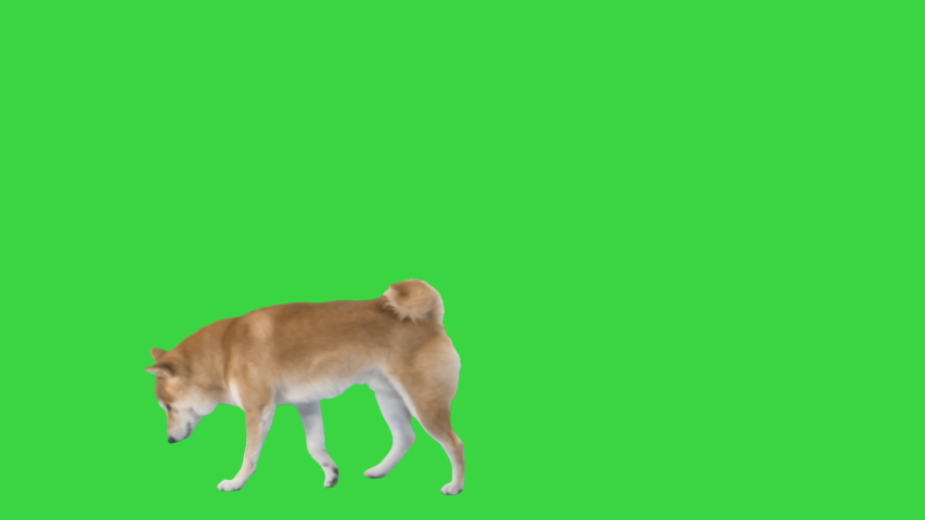 Red dog shiba inu walking and sniffing on a Green Screen, Chroma Key.