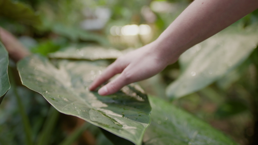 Close up of a Caucasian young girl stroking her fingers along a tropical green leaf that has fresh water drops on the surface. The sun is shining in the jungle behind. Calm meditation.
