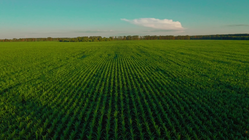 Drone flying over a cornfield during sunset. Drone flies over green agriculture corn field. Beautiful  summer landscape of a corn field. Top view to the green farm cornfield | Shutterstock HD Video #1056426416