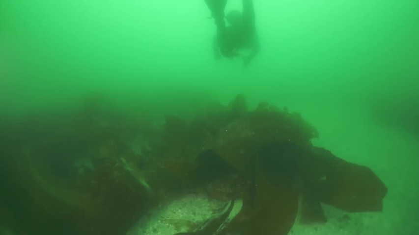 Underwater thickets of seaweed kelp. Diving in Sea of Okhotsk. Shell with prickles is dark brown color, right claw on outer side is dark red. Underwater diving.
