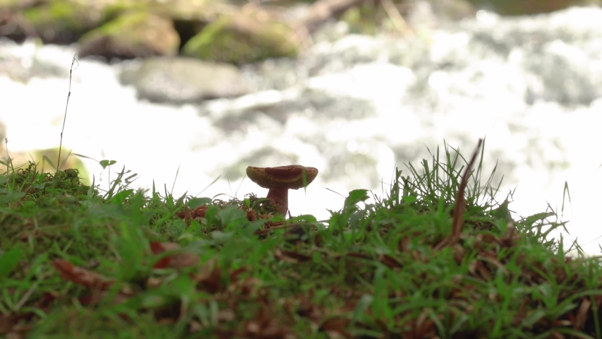 A single isolated mushroom sitting on a bed of grass next to the flowing waterfall.