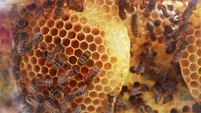 Busy honey bees laying eggs and brood care inside honeycomb hive. Bees life cycle. Bee colony. Close-up shot. Insects. Royalty-Free Stock Footage #1056485633