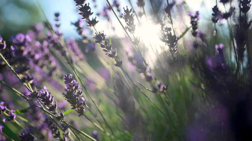 Close-up Beautiful Blooming Lavender Swaying In The Wind At Sunset. Lavender Purple Aromatic Flowers at Lavender Fields of the French Provence. Nature Background. Royalty-Free Stock Footage #1056509561