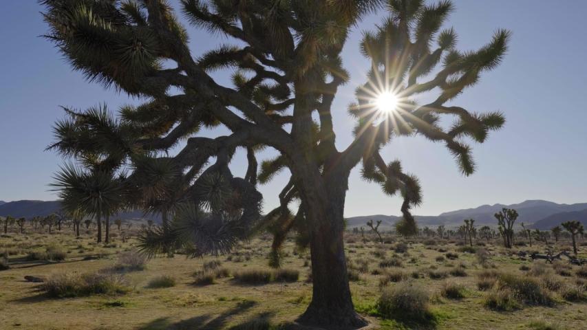 Sun rays getting through branches of a Joshua tree (aka yucca palm) in Joshua Tree National Park, California, USA. UHD