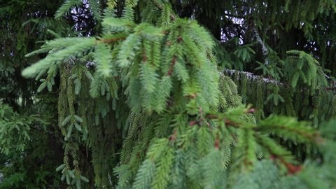 Big spruce branches swaying in the wind. Nature background. Forest on a cloudy summer day. Deep green color