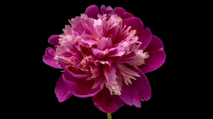 Timelapse of pink peony flower blooming on black background. Blooming peony flower open, time lapse, close-up. Wedding backdrop, Valentine's Day concept. 4K UHD video timelapse