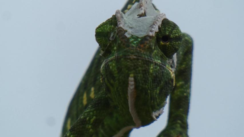 chameleon in forest