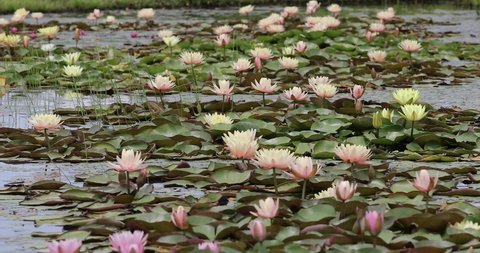 lotus flower nature pure clear