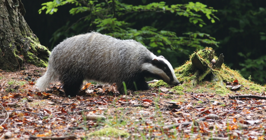 European badger, Meles meles, in colorful beech forest. Hungry animal sniffs about food around rotten mossy stump. Wildlife scene from nature. Black and white striped forest beast. Spring in Europe.