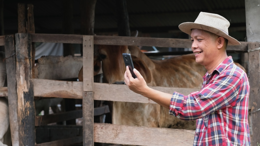 Farmer are using a smartphone on background cow in cow stall.
