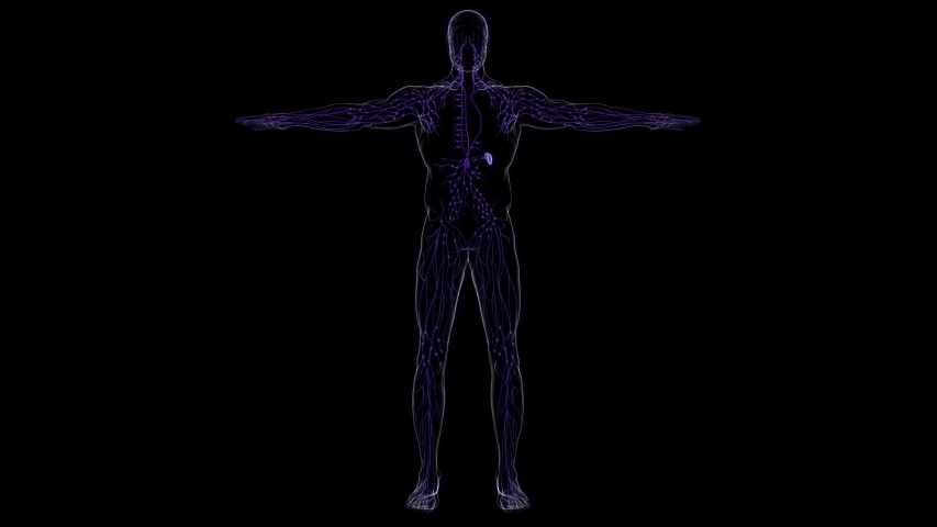 Human Lymph Nodes Anatomy For Medical Concept 3D Illustration   Shutterstock HD Video #1056618719