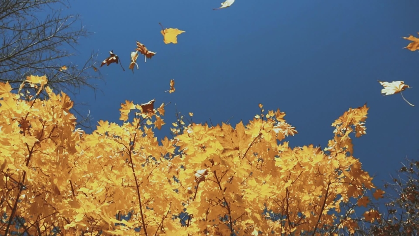 Dry leaves fall from a yellow autumn tree on a background of blue sky, sunny day, slow motion | Shutterstock HD Video #1056628469