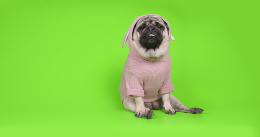 Funny pug dog dressed in cute pink costume - pink rabbit. Looking at camera at home, making online video call or recording vlog. Pug dog with pretty face. Portrait. Funny sitting pose. Green screen | Shutterstock HD Video #1056645797