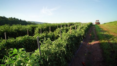 Slow motion wide angle view of rows of tomato plants with tractor in distance.