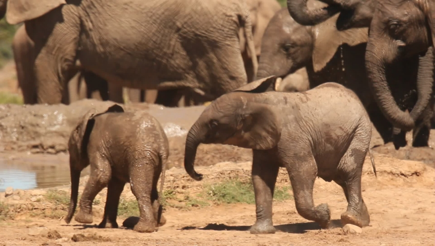Young elephants playing with each other    Shutterstock HD Video #1056656966