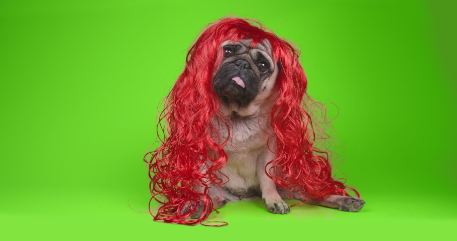 Sad, shy pug dog in red wig. Long hair like girl princess. Looking at the camera, tilting head in surprise. Green screen, chroma key. Green background. Funny dog concept | Shutterstock HD Video #1056661718