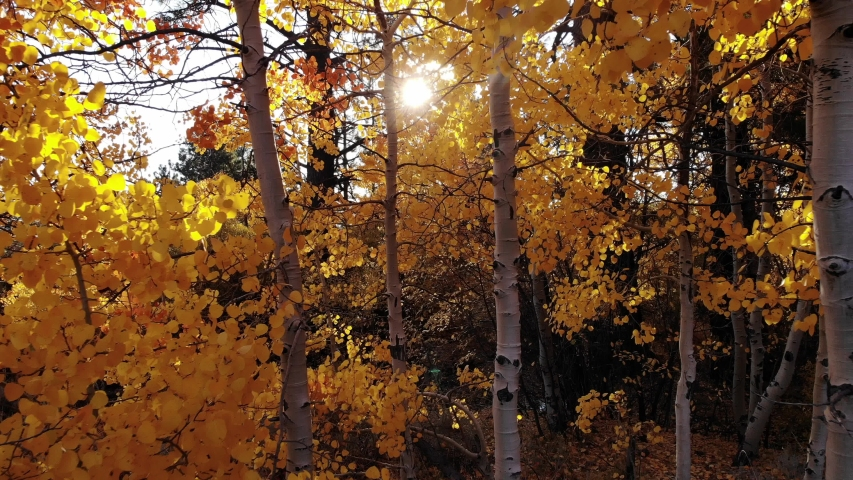 Aerial Drone Footage of Beautiful Fall Aspen Trees along Thomas Creek.  Thomas Creek is a Popular Hiking Trail near Reno, Nevada on Mt. Rose in the Sierras.  In Autumn the Trees Turn Gold and Orange. Royalty-Free Stock Footage #1056679415