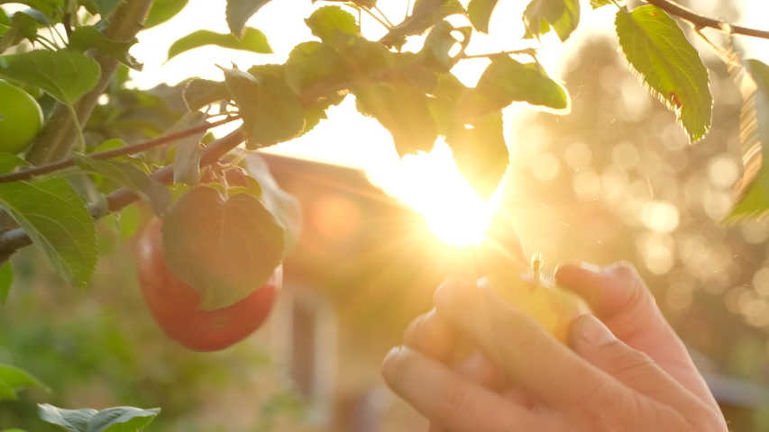 Hand of farmer man picking an ripe red apples fruits, apple tree background sun. Ripe juicy orchard apples on branch in garden. Close-up. Farming food harvest gardening harvesting concept, 4 K slow-mo