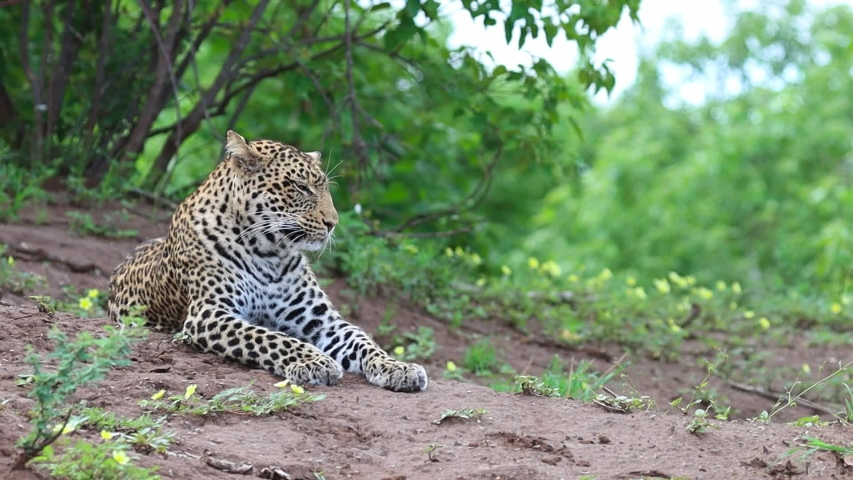 A wide shot of an adult Leopard yawning before getting up to stretch and walking off in Mashatu Game Reserve, Botswana Royalty-Free Stock Footage #1056690323