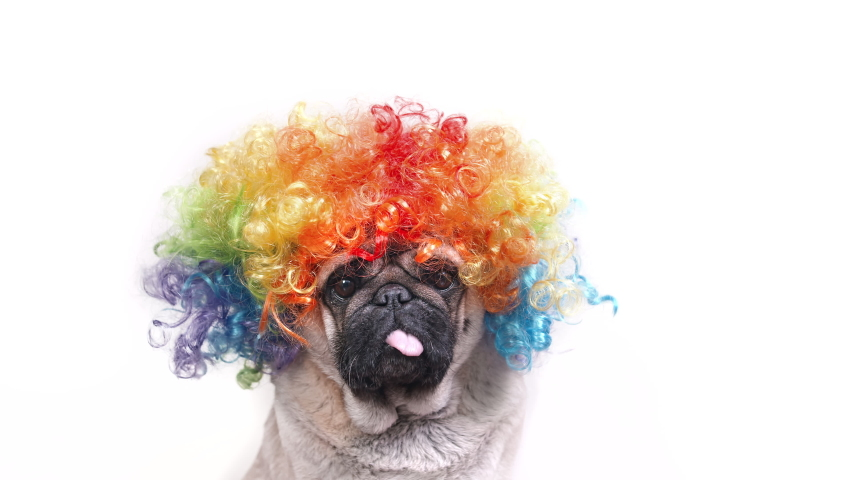 Portrait of funny pug dog in clown wig. White background. Looking at the camera.   Royalty-Free Stock Footage #1056714338