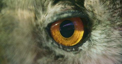 [Horned Owl Close up slow blink eye]Horned Owl Close up slow blink eye