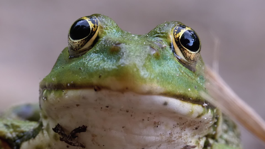 Frog Funny Looks at Camera. Portrait of Green Toad Sits on the Shore near the River. Close-up. Frog stirs his nostrils, and breathes. Summer, sunny day. The frog is waiting. Hypnotoad. | Shutterstock HD Video #1056862697