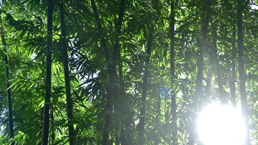 Sunrise back bamboo, Morning forest | Shutterstock HD Video #1056866303