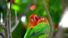 This close up video shows two wild tropical Fischer's Lovebirds (Agapornis fischeri) feeding each other and kissing.