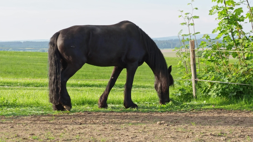 Friesian horse in the pasture. Beautiful friesian horses with long mane.
